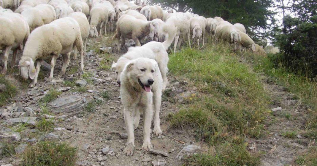 sbranata-dai-cani-randagi-o-meno-ma-la-tragedia-era-evitabile